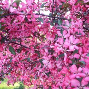 Декоративная яблоня Недзведского(Мичуринская)
