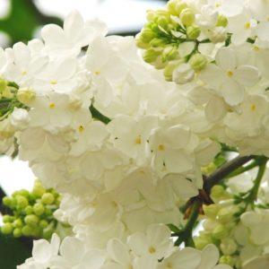 """сирени """"Белая Флора"""" (корнесобственная, 3 летка, высота растения 80 см.)"""