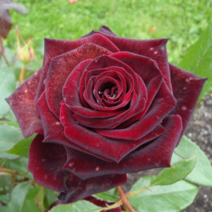 "Роза "" Черная Магия"""