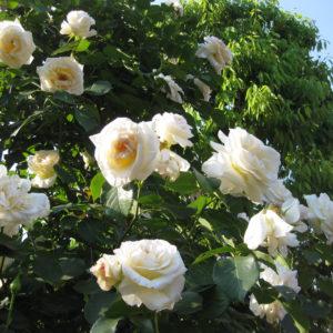 "Роза "" Снежный Вальс"""
