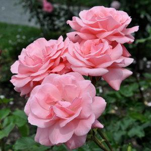 Роза крупноцветковая Куин Элизабет