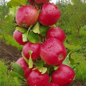 Колоновидная яблоня Арбат2 летка