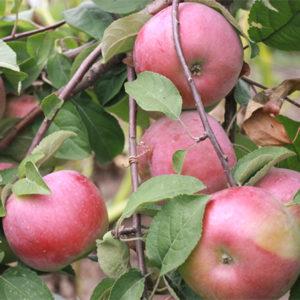 Яблоня Белорусское сладкое 4 летка