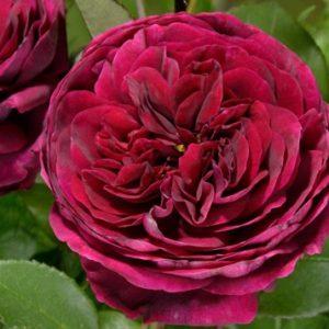 Роза Принц(парковая)