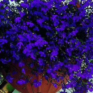 Лобелия ежевидная  midnight blue (темно синяя)(Продается в кассетах по 6 шт)