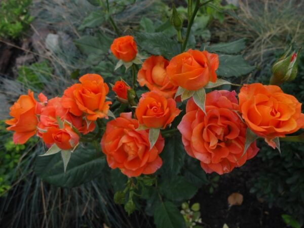 Роза Aлегрия