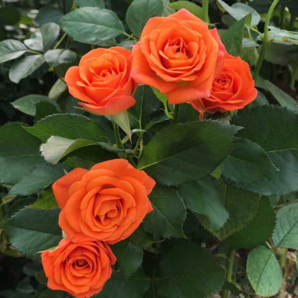 роза Спрэй рыжая