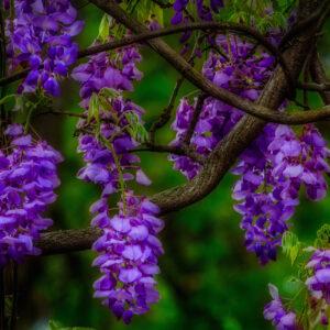глициния фиолетовая