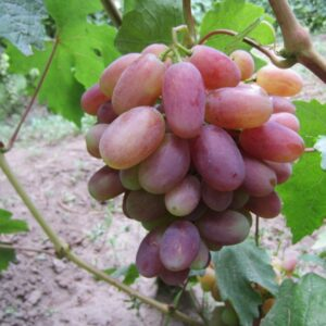 виноград Юлиан С3