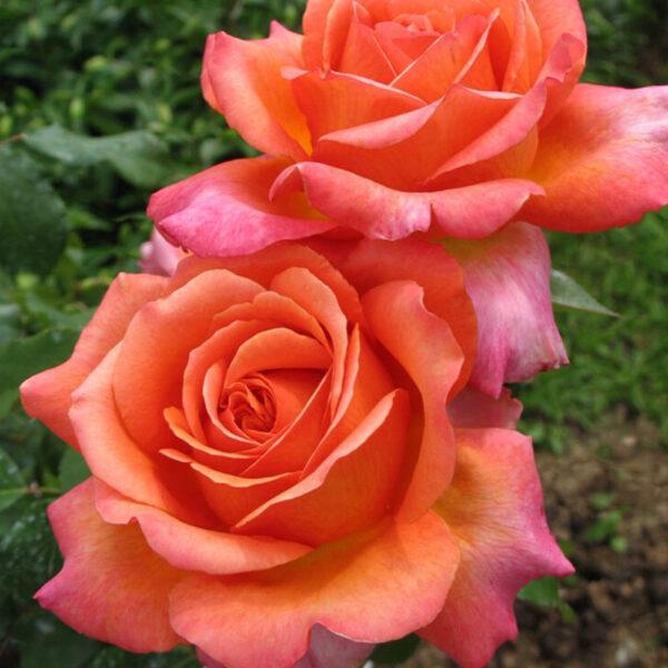 Роза чайно-гибридная Рене Госинни