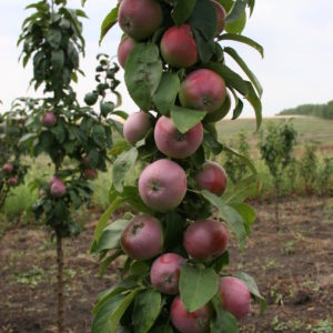 """Колоновидная яблоня"""" Останкино"""""""