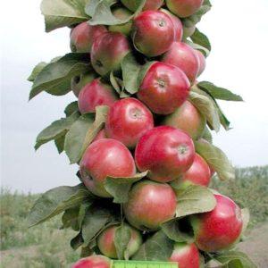 """Колоновидная яблоня """"Триумф"""""""
