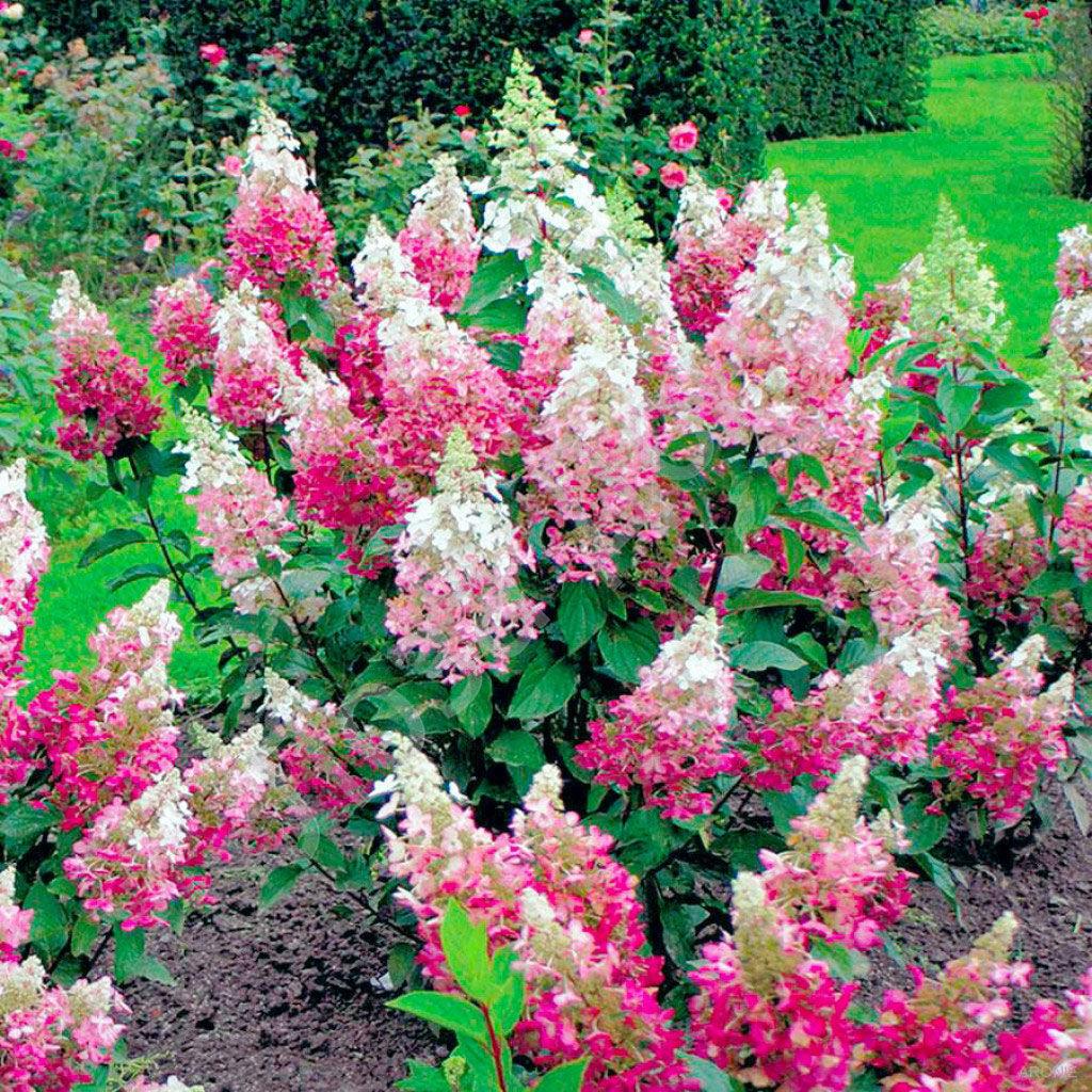 Красиво цветущие садовые цветы и кустарники фото