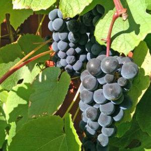 Виноград Хасанский