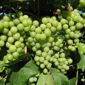 Виноград Сукрибе