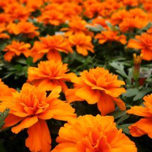 Бархатцы отклоненные Бонанза Голд Оранж продаются в кассетах по 6 штук