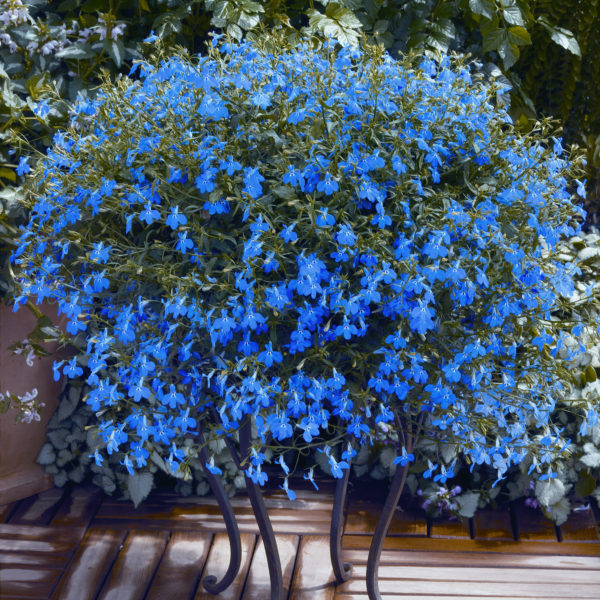 Лобелия ежевидная ампельная Blue (Продается в кассетах по 6 шт)