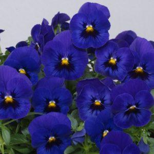 Виола гибридная(blue w/blotch)продается в кассетах по 6 штук