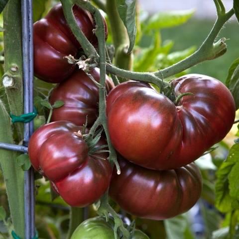 томат крымская ночь